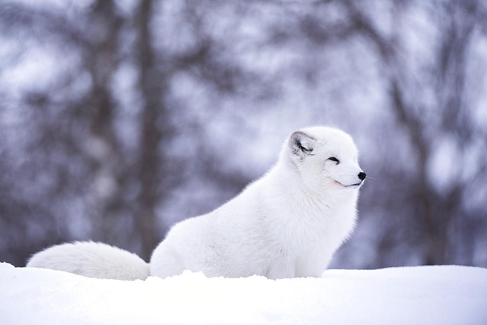 Arctic fox (Vulpes lagopus), Polar Park, Norway, Troms, Norway, Scandinavia, Europe