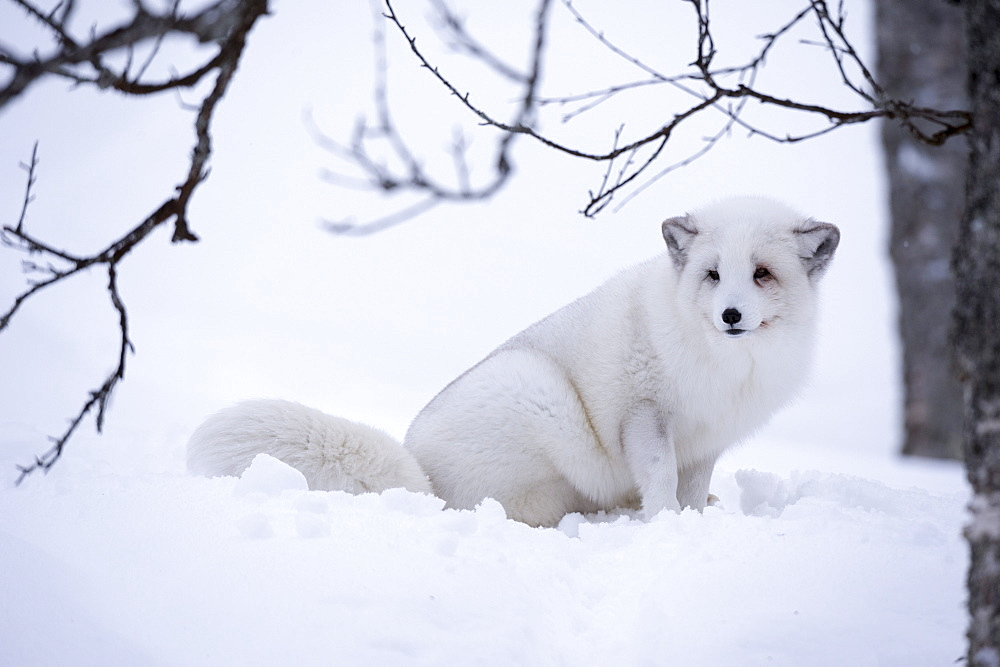 Arctic fox (Vulpes lagopus), Polar Park, Troms, Norway, Scandinavia, Europe