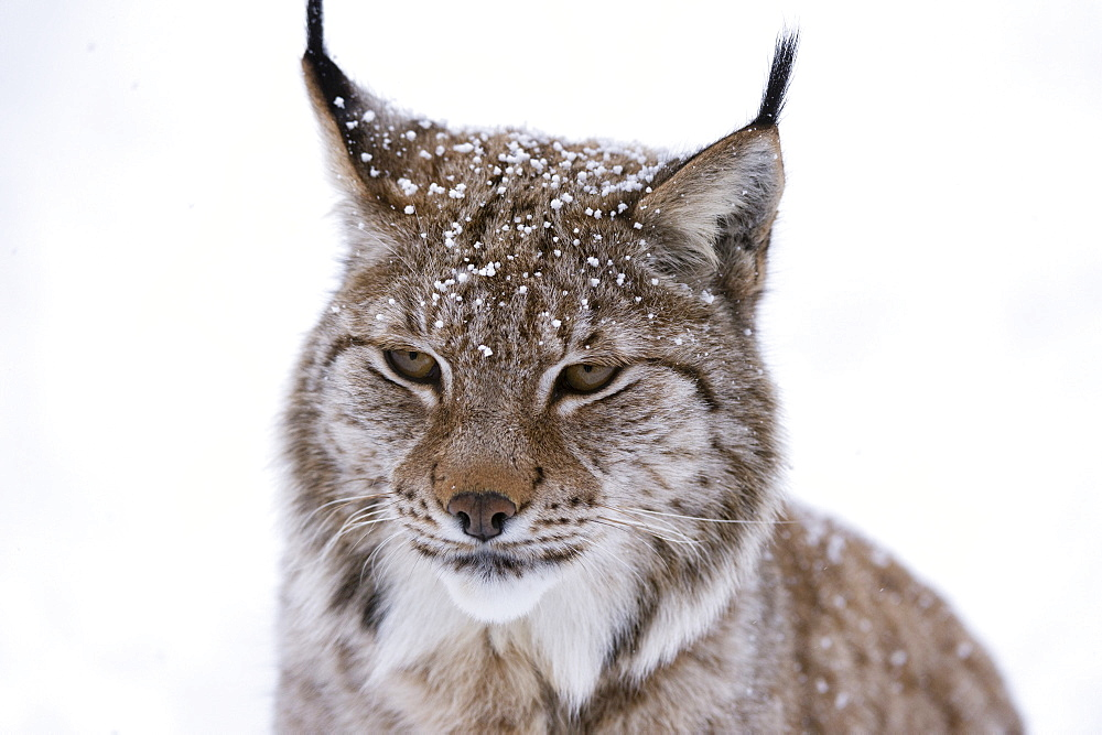 European Lynx (Lynx lynx), Polar Park, Troms, Norway, Scandinavia, Europe