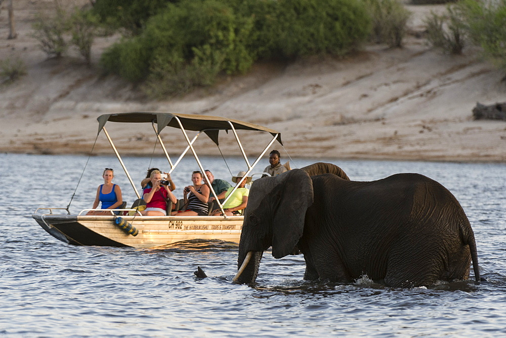 Tourist watching an African elephant (Loxodonta africana), crossing the river Chobe, Chobe National Park, Botswana, Africa - 741-5097