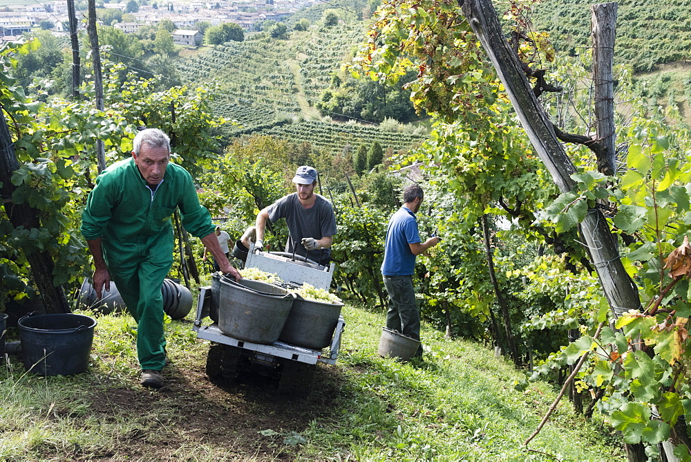 Grape harvest, Valdobbiadene, Veneto, Italy, Europe
