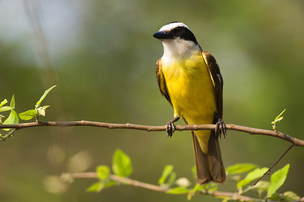 A Great Kiskadee (Pitangus sulphuratus) perching, Pantanal, Mato Grosso, Brazil, South America - 741-5175
