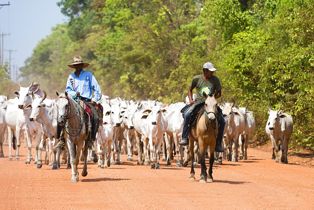 Cattle herd, Pantanal, Mato Grosso, Brazil, South America - 741-5177