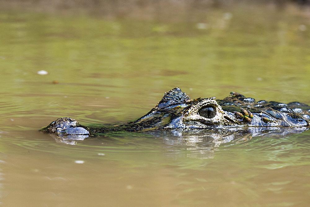 Yacare caiman (Caiman crocodylus yacare), Rio Negrinho, Pantanal, Mato Grosso, Brazil, South America