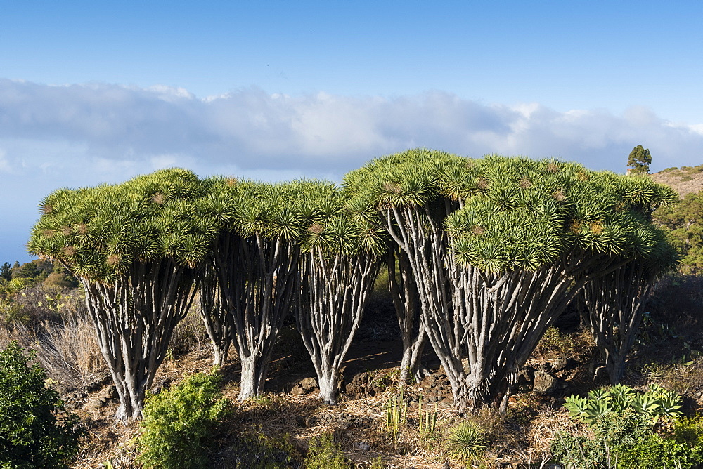 Dragon trees, Dracaena draco, La Palma Island, Canary Islands, Spain. - 741-5192