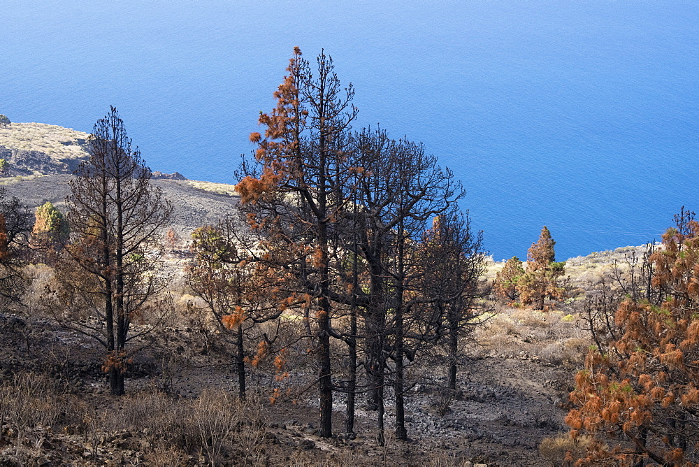 Burned Canary pine trees. In 2016 a massive forest fire has ravaged almost 7% of the island, La Palma Island, Canary Islands, Sp - 741-5194