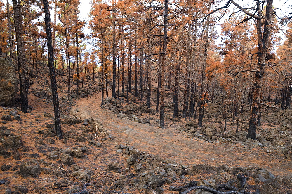 Burned Canary pine trees. In 2016 a massive forest fire has ravaged almost 7% of the island, La Palma Island, Canary Islands, Sp - 741-5195