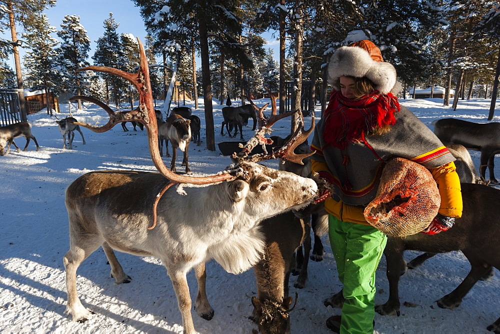 A young Sami woman feeding raindeers, Nutti Sami village, Jukkasjarvi, Sweden.