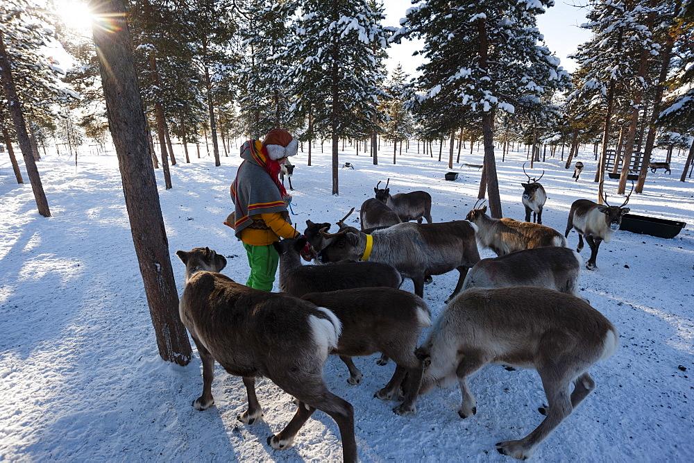 A young Sami woman feeding reindeers, Nutti Sami village, Jukkasjarvi, Sweden, Scandinavia, Europe