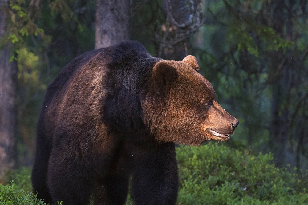 The light filtering through the leaves illuminates a European brown bear, Ursus arctos, Kuhmo, Finland.