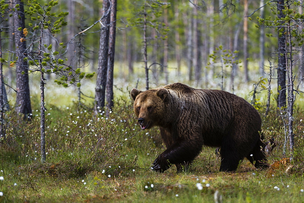 A European brown bear, Ursus arctos, walking in the forest, Kuhmo, Finland.