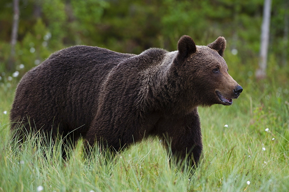 Portrait of a European brown bear, Ursus arctos, Kuhmo, Finland.