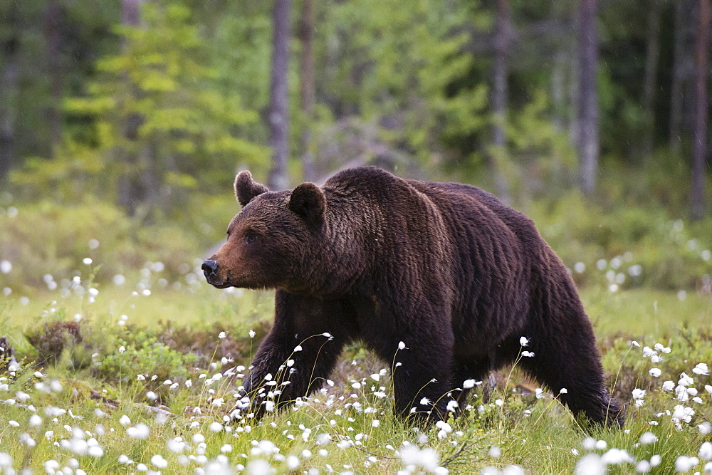 A European brown bear, Ursus arctos, walking in a meadow of blooming cotton grass, Kuhmo, Finland.