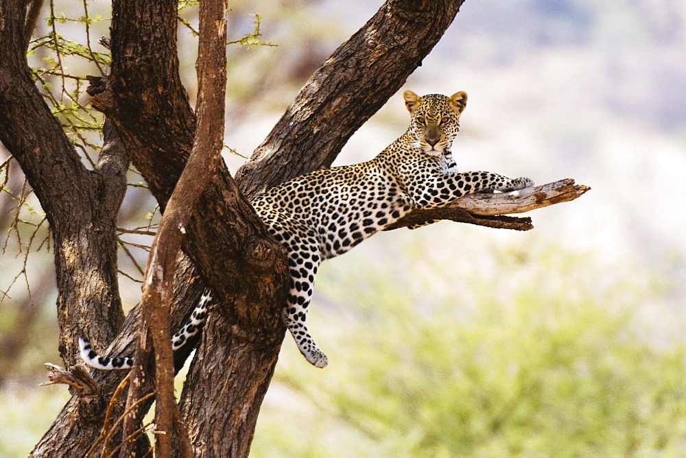 A leopard (Panthera pardus) rests on a tree, Samburu National Reserve, Kenya, East Africa, Africa