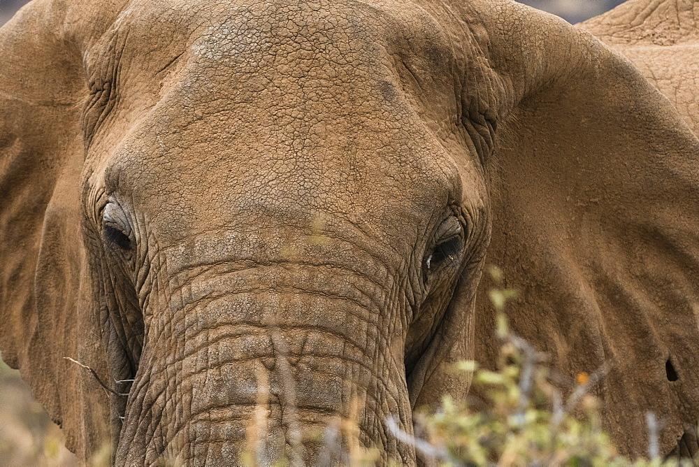 African elephant (Loxodonta Africana), Kalama conservancy, Samburu, Kenya, East Africa, Africa