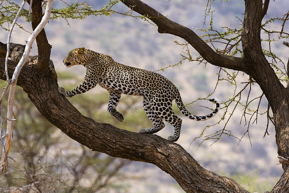 A leopard (Panthera pardus) walking on a tree branch, Samburu National Reserve, Kenya, East Africa, Africa