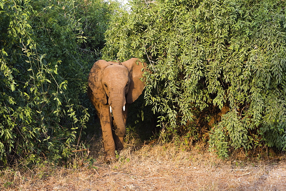 An African elephant (Loxodonta Africana), emerges from the bush, Samburu, Kenya, East Africa, Africa