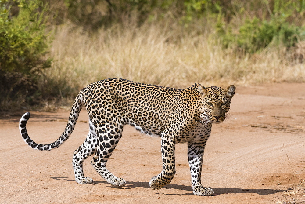 A leopard, Panthera pardus, walks along a road, Samburu National Reserve, Kenya.