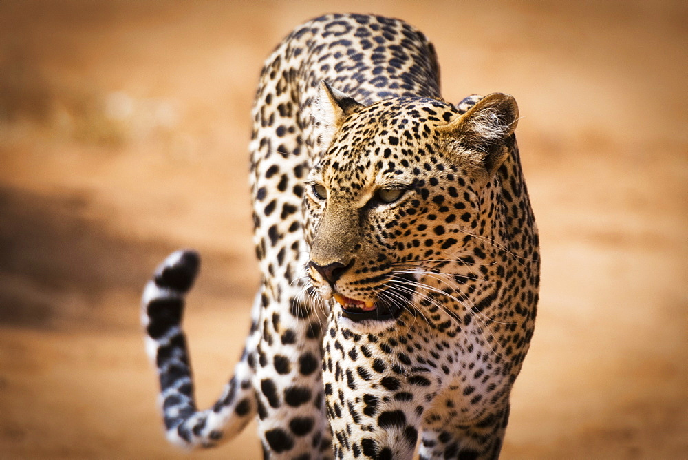 Close up image of a wild leopard