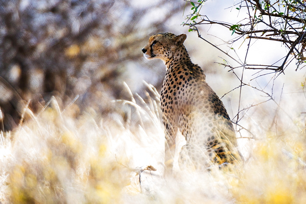 Portrait of a female cheetah (Acinonyx jubatus) in tall grass, Samburu National Reserve, Kenya, East Africa, Africa
