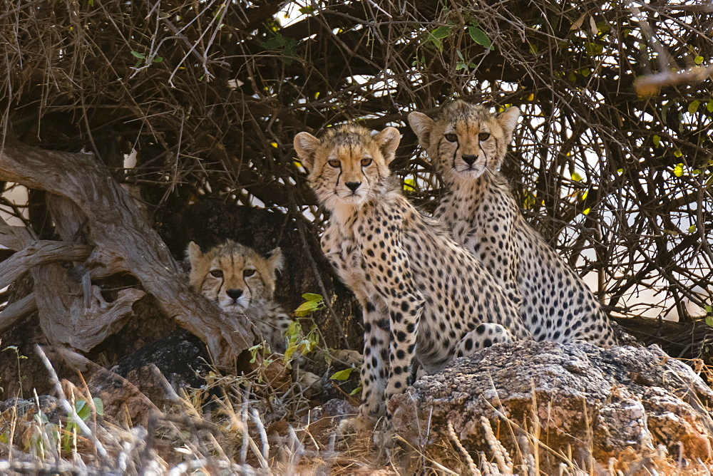 Portrait of three cheetah cubs (Acinonyx jubatus), Samburu National Reserve, Kenya, East Africa, Africa