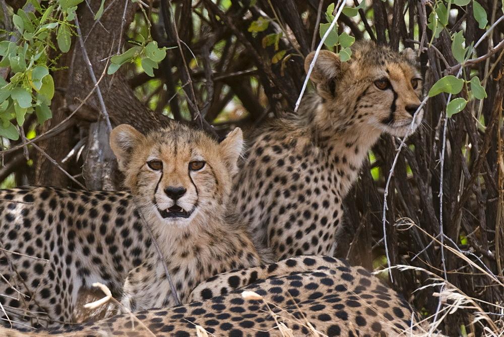 Cheetah (Acinonyx jubatus), Samburu National Reserve, Kenya, East Africa, Africa