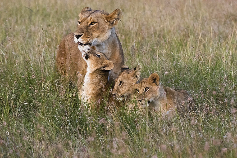 A lioness (Panthera leo) greeted by her cubs upon her return, Masai Mara, Kenya, East Africa, Africa