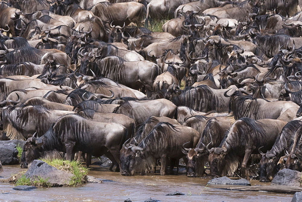 Eastern white-bearded wildebeest (Connochaetes taurinus), on the Mara River bank, Masai Mara, Kenya, East Africa, Africa
