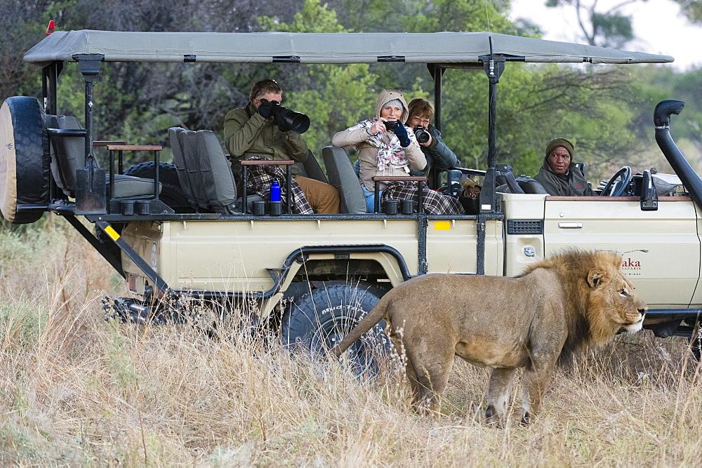 Lion (Panthera leo), Khwai Conservation Area, Okavango Delta, Botswana, Africa