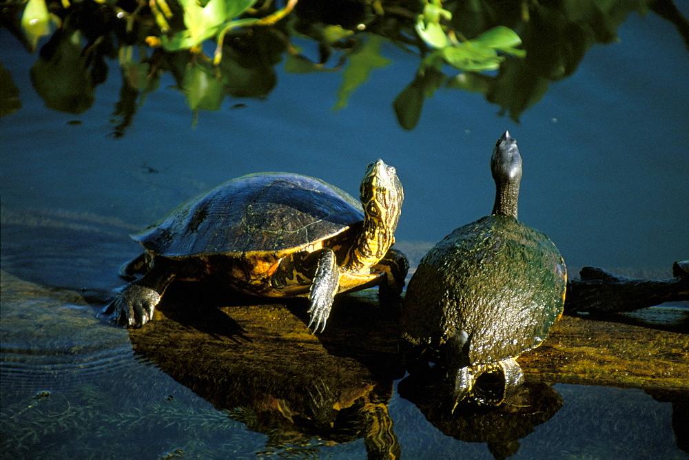 Mesoamerican slider turtles (Trachemys scripta ornata), River Chagres, Soberania Forest National Park, Gamboa, Panama, Central America