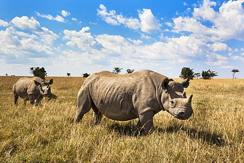 Rhinoceros, Ol Pejeta Conservancy, Laikipia, Kenya, East Africa, Africa