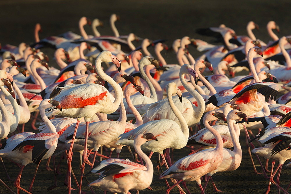 Greater flamingoes (Phoenicopterus ruber) and Lesser flamingoes (Phoenicopterus minor), Walvis Bay, Namibia, Africa