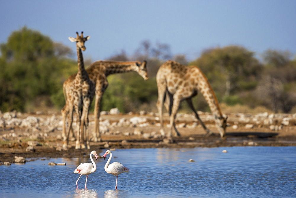 Giraffe (Giraffa camelopardalis) ,  greater flamingoes (Phoenicopterus ruber), Etosha National Park, Namibia, Africa