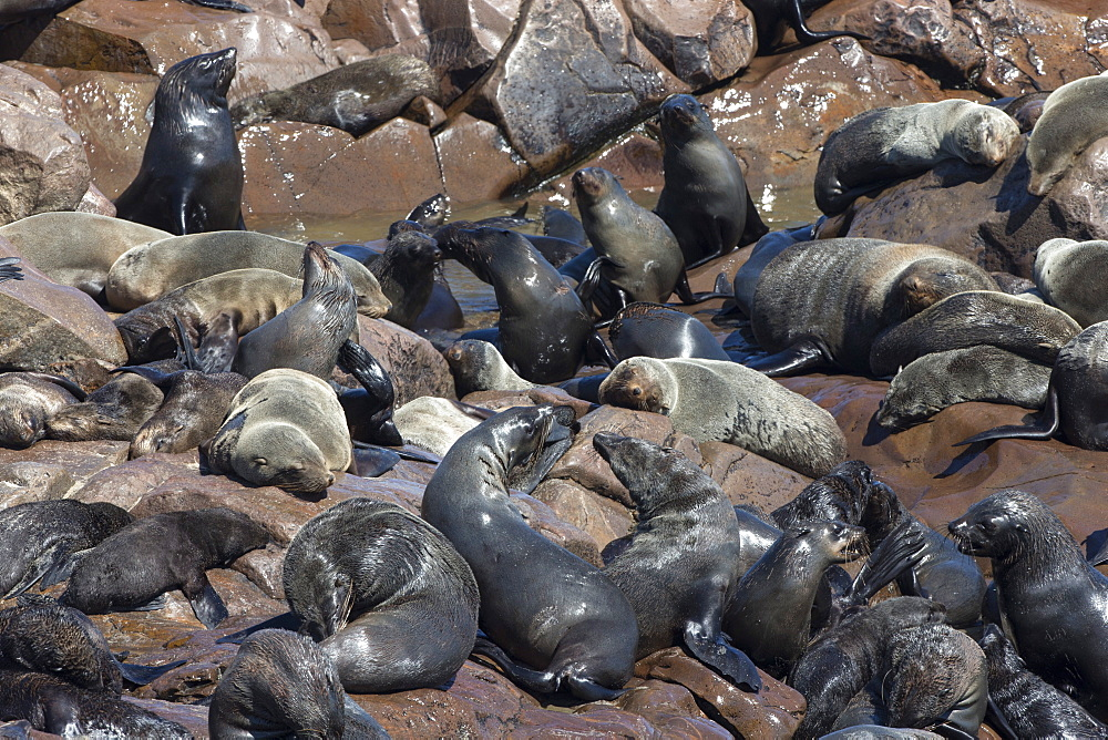 South African (Cape) fur seals (Arctocephalus pusillus pusillus), Cape Cross breeding colony, Namibia, Africa