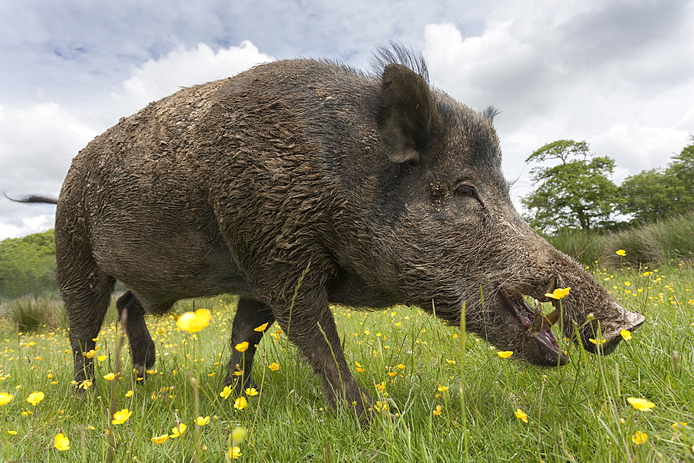 Wild boar (Sus scrofa), captive, United Kingdom, Europe
