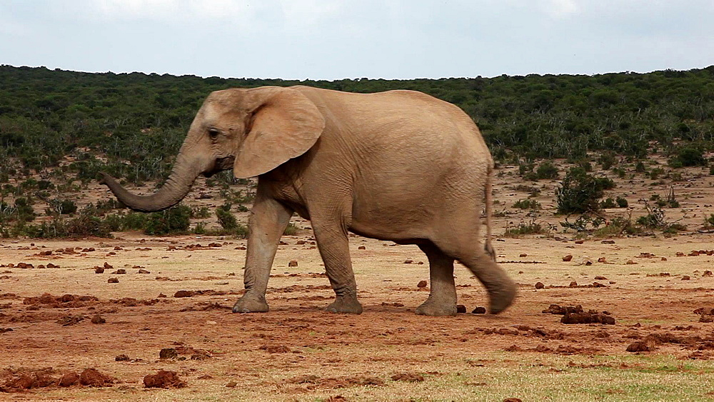 African elephants (Loxodonta africana) on the move, Addo Elephant National Park, Southern Cape, South Africa - 743-1108
