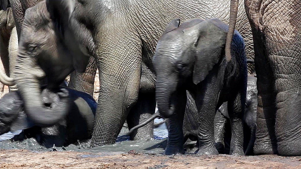 Baby African elephant (Loxodonta africana) at waterhole, Addo Elephant National Park, Southern Cape, South Africa