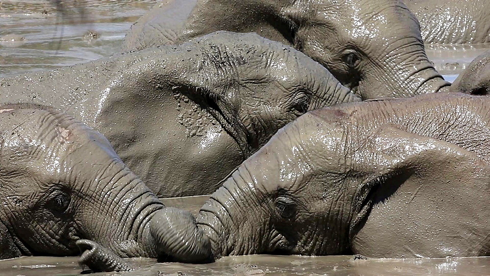 African elephant (Loxodonta africana) in water, Addo Elephant National Park, Southern Cape, South Africa