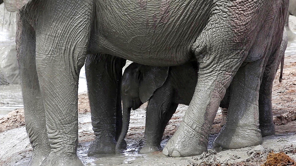 Baby African elephant (Loxodonta africana) with mother at waterhole, Addo Elephant National Park, Southern Cape, South Africa