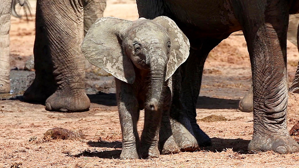 Baby African elephant (Loxodonta africana), Addo Elephant National Park, Southern Cape, South Africa - 743-1125