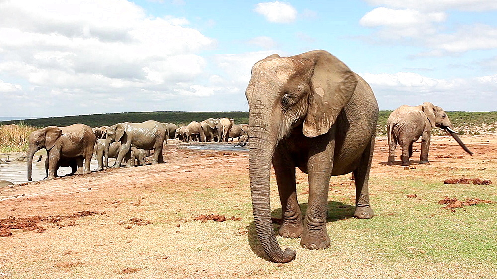 African elephants (Loxodonta africana) at waterhole, Addo Elephant National Park, Southern Cape, South Africa - 743-1128