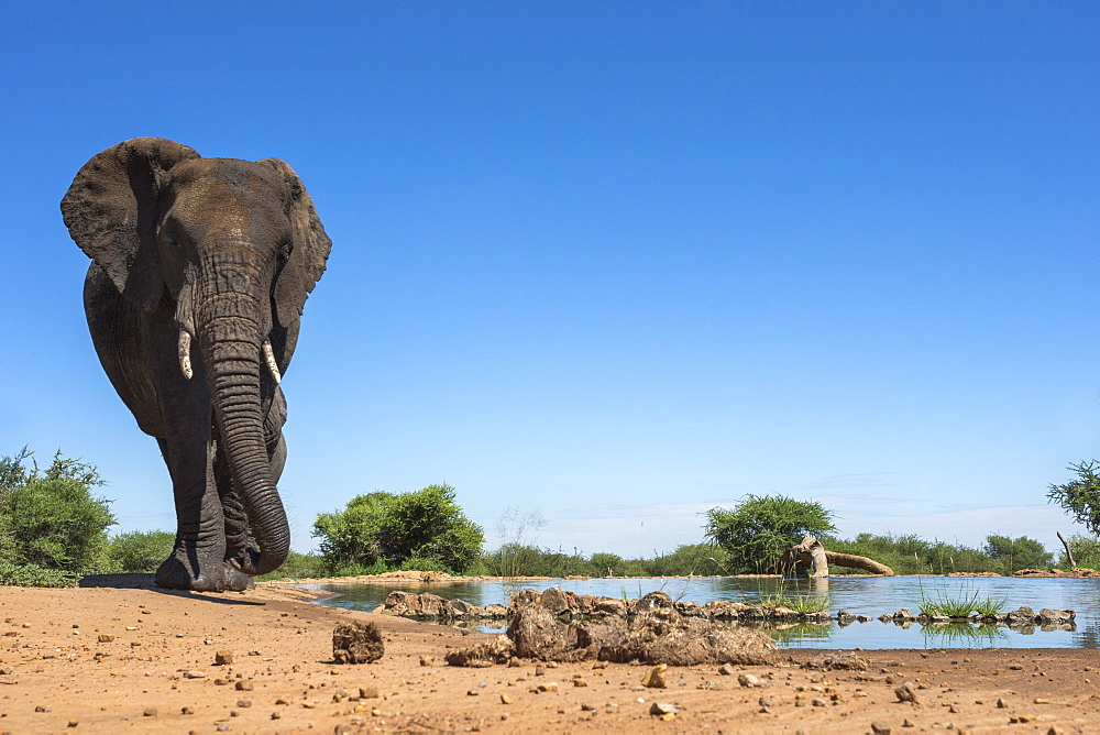 African elephant (Loxodonta africana) at waterhole, Madikwe Game Reserve, North West Province, South Africa, Africa