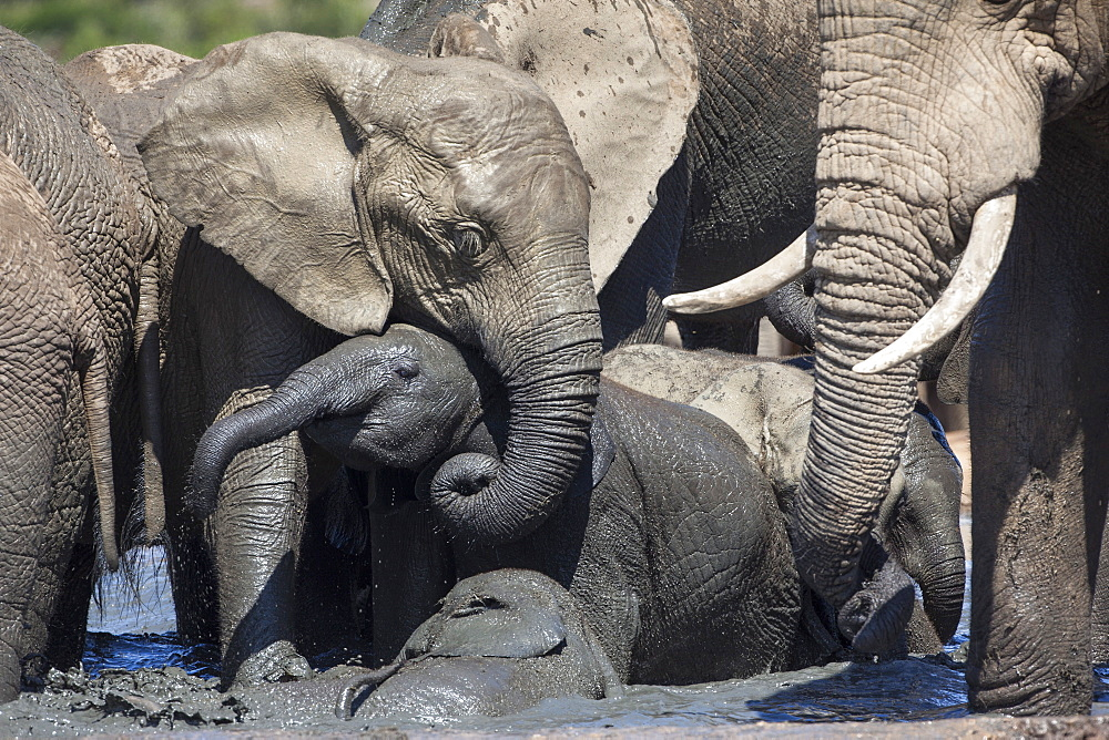 African elephant babies (Loxodonta africana) playing in Hapoor waterhole, Addo Elephant National Park, South Africa, Africa