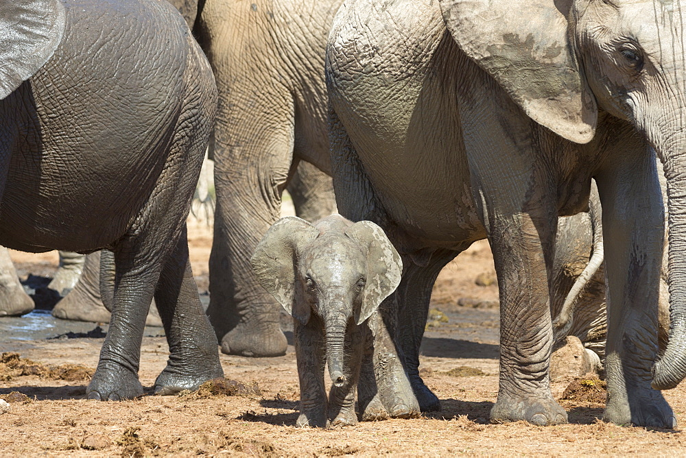 African elephant (Loxodonta africana) baby with herd at Hapoor waterhole, Addo Elephant National Park, Eastern Cape, South Africa, Africa