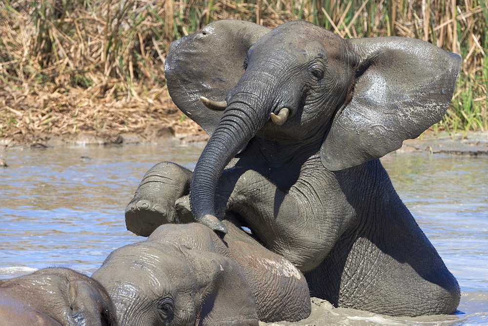 African elephants (Loxodonta africana) drinking and bathing at Hapoor waterhole, Addo Elephant National Park, Eastern Cape, South Africa, Africa