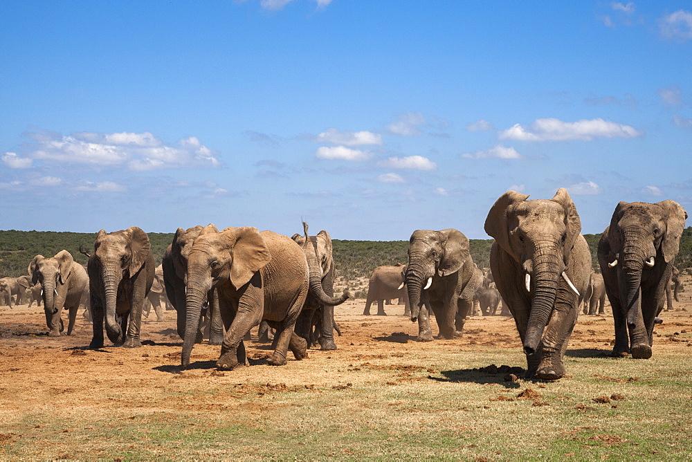 African elephants (Loxodonta africana) at Hapoor waterhole, Addo Elephant National Park, Eastern Cape, South Africa, Africa