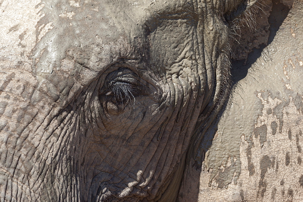 African elephant head and skin detail (Loxodonta africana), Addo Elephant National Park, South Africa, Africa