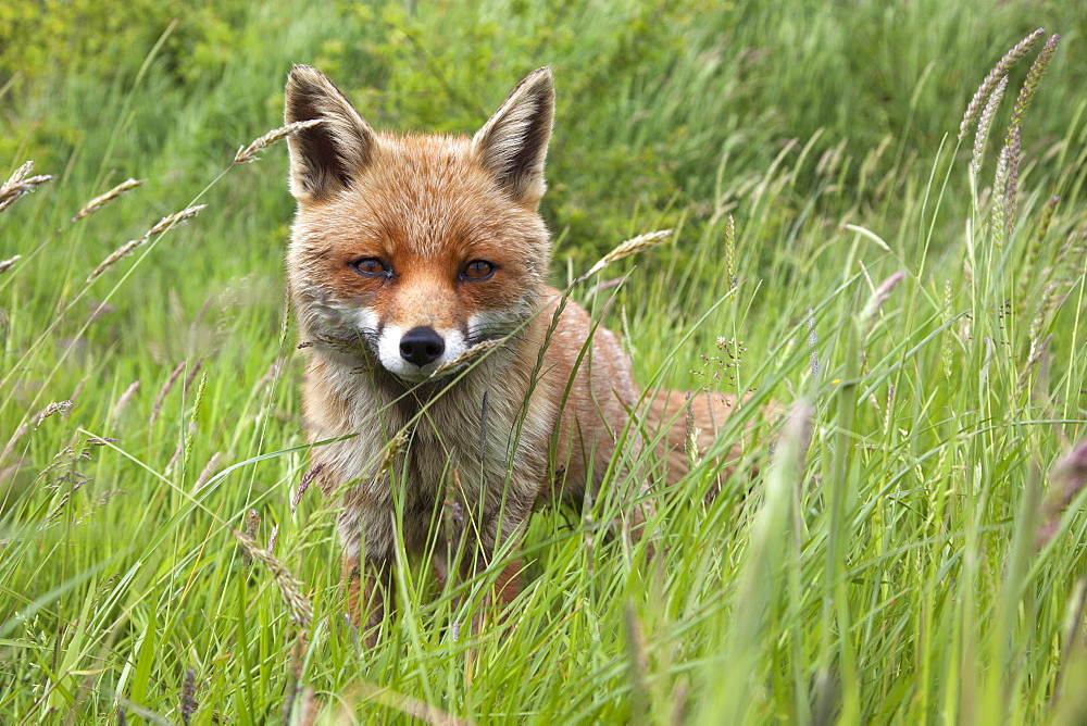 Red fox (Vulpes vulpes) captive, United Kingdom, Europe