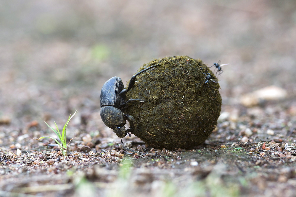Dung beetle (Scarabaeidae) rolling ball it has made out of zebra dung, Pilanesberg National Park, North West Province, South Africa, Africa