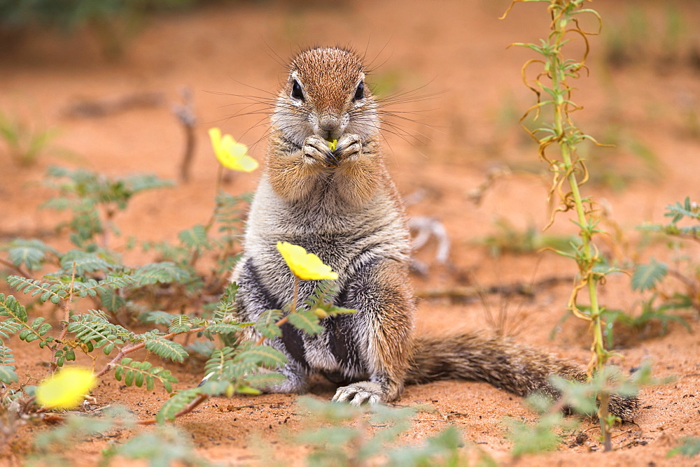 Ground squirrel (Xerus inauris) eating devil's thorn flowers (Tribulus zeyheri), Kgalagadi Transfrontier Park, Northern Cape, South Africa, Africa